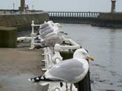 Whitby seagulls